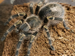 Golden knee tarantula