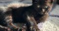 Black Male Neutered House Cat