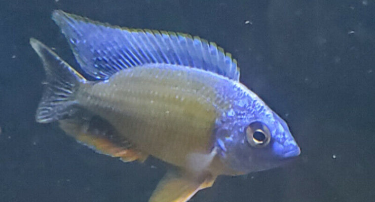 "Protomelas ""Taiwan Reef "" FULL COLOR"