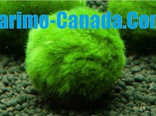 Marimo Moss Ball A Grade Live Aquarium Plant Free Shipping