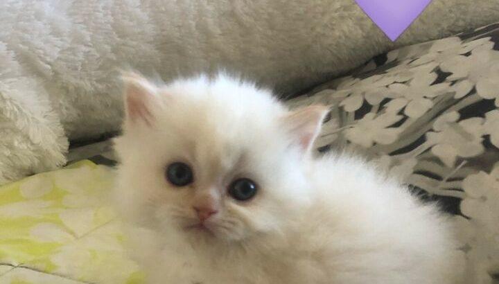 chaton himalayen male a vendre
