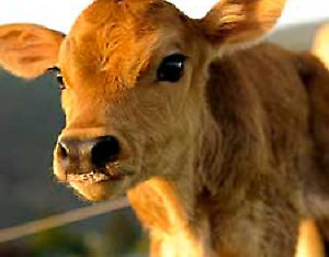 Dairy cow wanted near Grand Fork BC