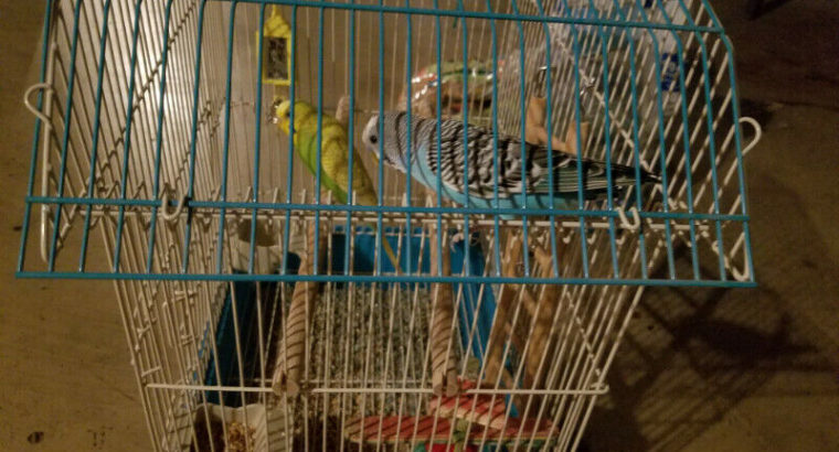 Parakeets – Includes 2 Birds, Cage & Food
