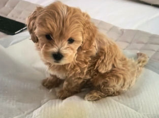 Wanted: Looking for Teacup maltipoo puppy