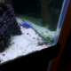 African cichlid iceburg fryeri hap