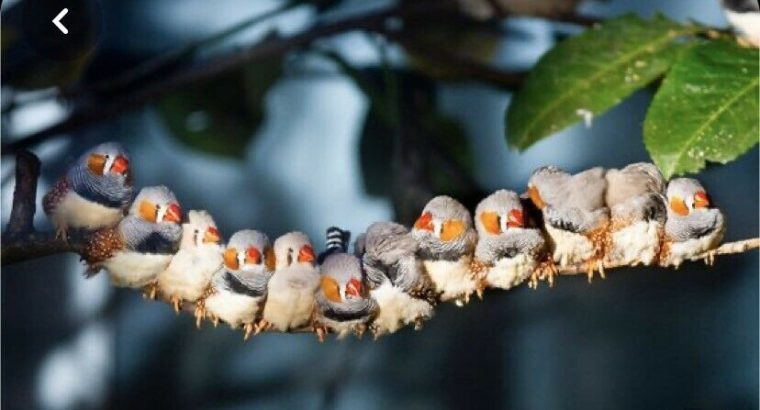 Wanted: Looking to adopt aa zebra finch