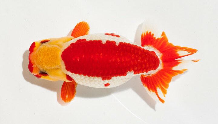 Ranchu Oranda Ryukin Wakin Aquarium Goldfish Fancy Goldfish