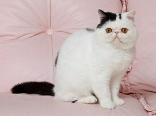 Wanted: Looking for an Exotic Shorthair Cat!