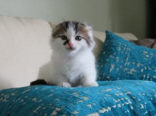 Exotic Munchkin Fold Kitten