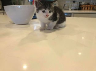 Kitten baby boy