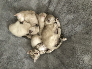 Purebred Snow Bengals…. microchipped and sterilized