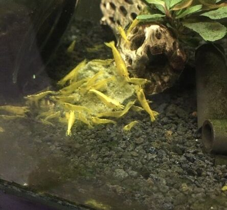 Blue and yellow shrimp