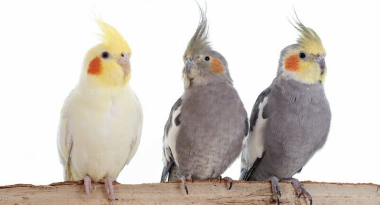 Wanted: Bird Rescue will take your unwanted feathered friends