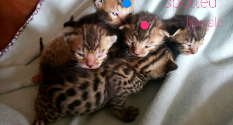 F4 Beautiful Bengal Kittens! Reserve yours today! Ready in June!