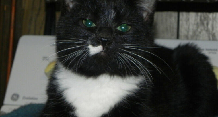 Oscar – Free Tuxedo Kitten