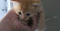 8 week old half Persian female kitten