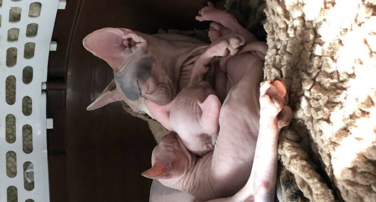 STUNNING SPHYNX (hairless) KITTENS