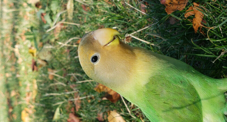 Male lovebirds friendly