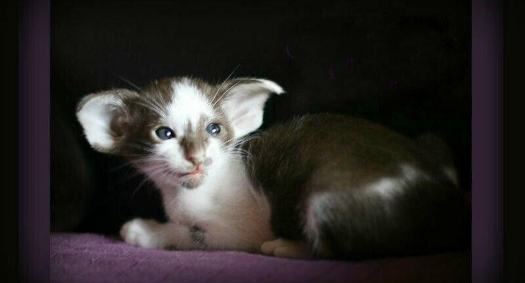 HypoAllergenic Extreme Oriental Kittens!