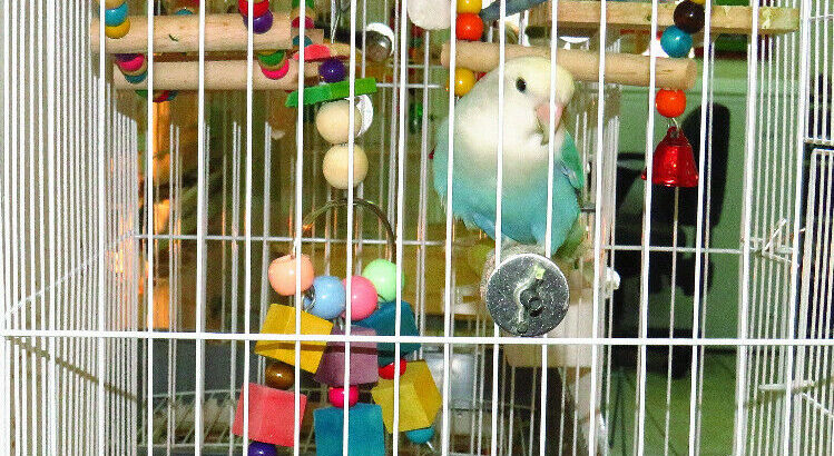 SUPER TAME handfed baby lovebird (whitefaced blue pied)==ON HOLD