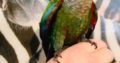 Two young conures