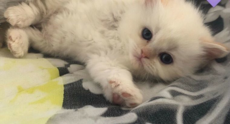 Purebred Himalayan Kittens ready for Mother's day
