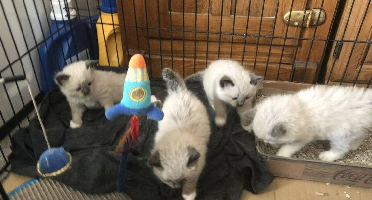 4 female ragdoll kittens