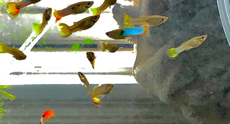Male and female guppy's