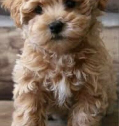 Wanted: Looking to buy a Maltipoo puppy