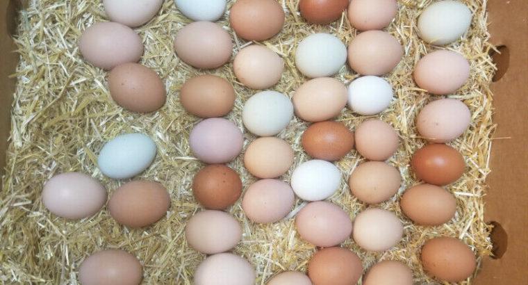 CHICKS – Easter Egger