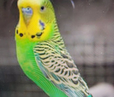 Lost Pet Bird budgie green and yellow