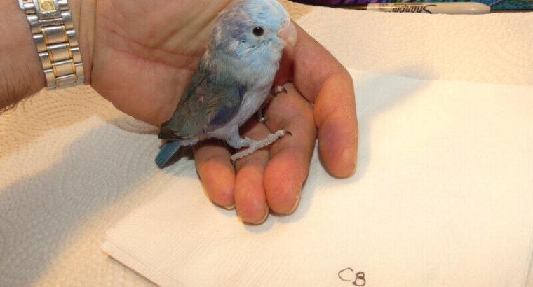 Parrotlets in Cobalt and Blue