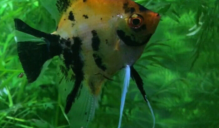 High Coverage pearl scale Koi Angelfish Male
