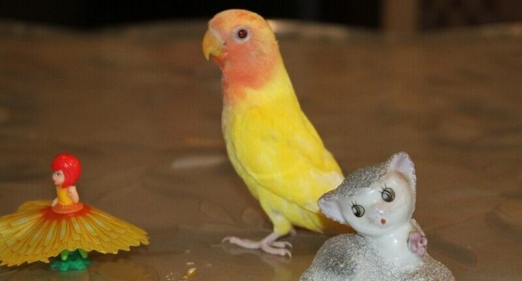 Rare, super tame Opaline Peach face Lutino baby lovebird!–SOLD