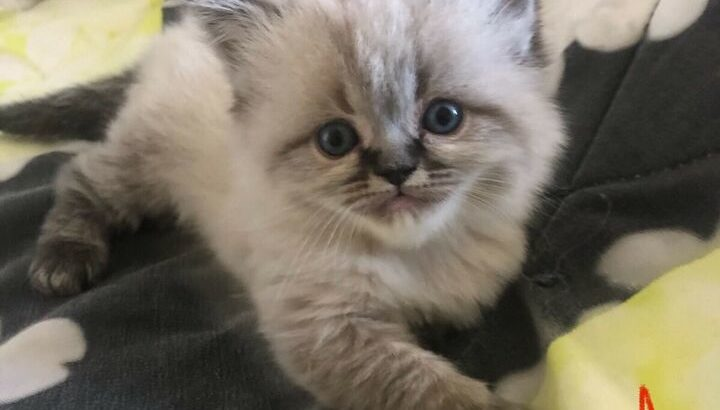 chaton himalayen male a vendre