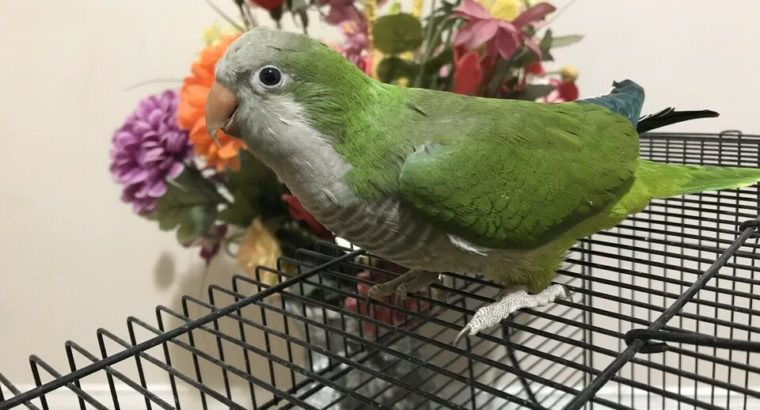 Green Quaker Parrot one year Old