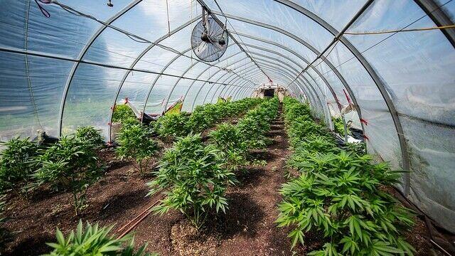 GROW MARIJUANA LEGALLY UP TO 100 GRAM LICENCES/ 500 PLANTS