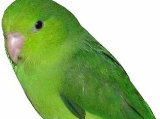 Wanted: Female parrotlet