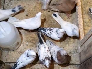 High flyer pigeons