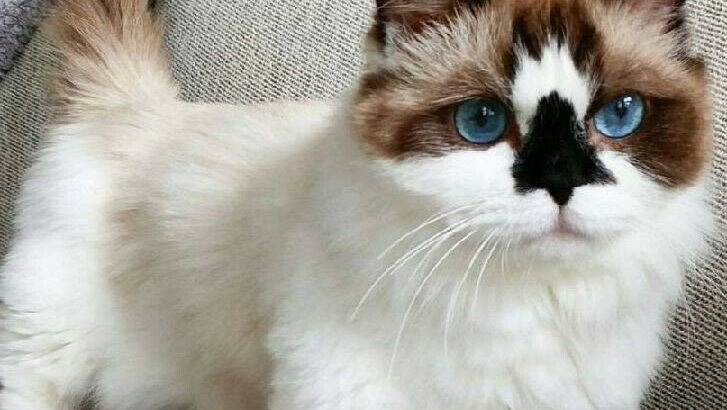 Wanted: ISO Munchkin Kitten/Cat