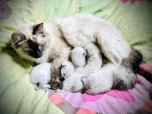 Gorgeous Ragdoll/Siamese Kittens! ♥️