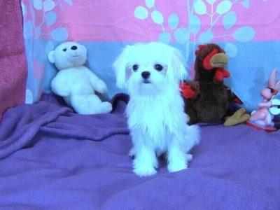 Premium Teacup Ice White Maltese Puppy