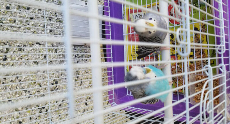 Wanted: Two birds for sale