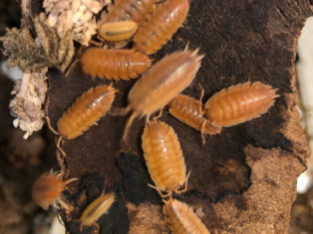 Isopods – Clean up crew