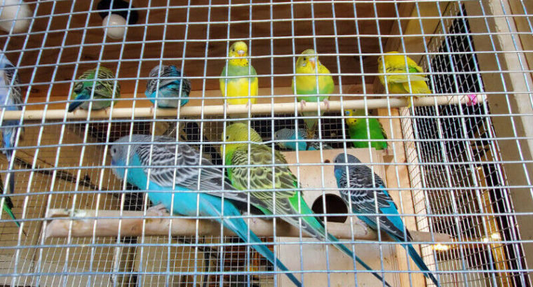 Lovebirds for sale very nice and how many colours Each one 22$