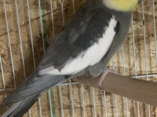 Cockatiel sale
