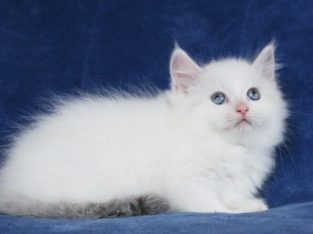 BI-COLOURED RAGDOLL KITTENS ARE READY FOR ADOPTION