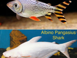 Wanted: LF: Albino Knife/Red Flagtail/Albino Shark/Red Tail Gourami !