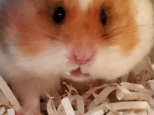 Wanted: Looking for used hamster supplies/toys!