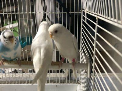 Budgies/Parakeets